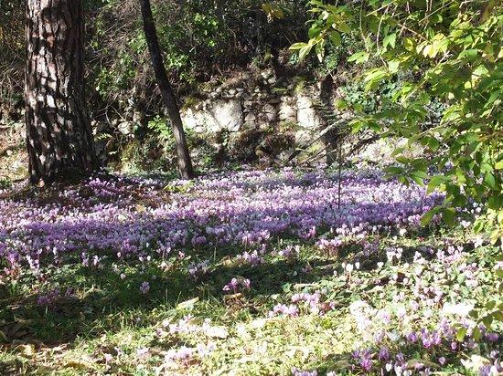 Marquay, ฝรั่งเศส: Parterre de cyclamens sauvages dans un jardin privé à Domme