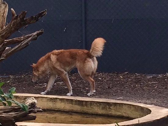Healesville, Australia: Необщительная собака Динго.
