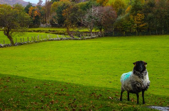 Kenmare, İrlanda: The sheep are super friendly, and if given the chance, quite talkative.