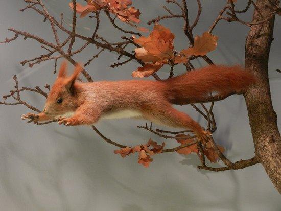Holte, Δανία: Écureuil issu de la faune il y a 7000 ans.