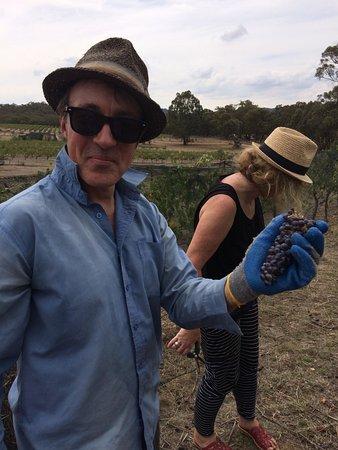 Moonambel, Australia: last bunch of harvest
