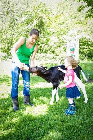 Rochester, VT: feeding a calf
