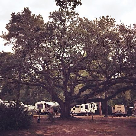 Ladson, Carolina Selatan: Beautiful live Oak.