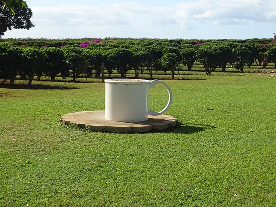 Kalaheo, ฮาวาย: A coffee cup out standing in its field