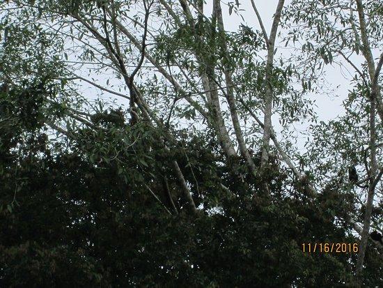 Provincia de Heredia, Costa Rica: Howler monkeys in trees along the Sarapiqui