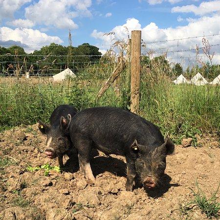 Pluckley, UK: we are rearing Berkshire pigs!