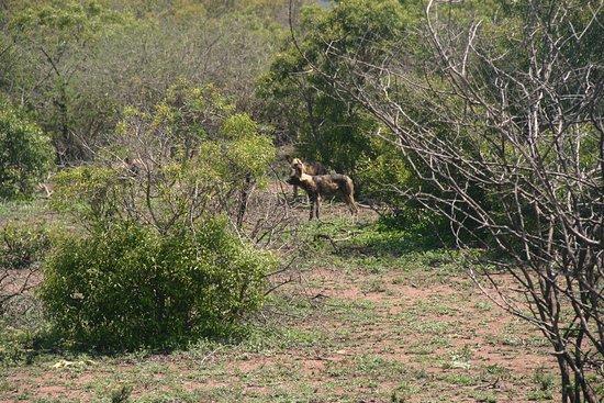 St Lucia, Sudafrica: Wild dogs