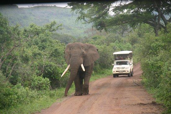 St Lucia, Sudafrica: Elephant on road.