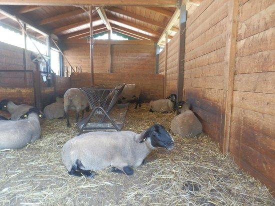 Agriturismo Il Castello: le loro pecore