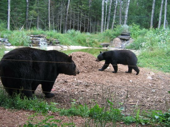 Ely, MN: Lucky and Holly at North American Bear Center (resident black bears).