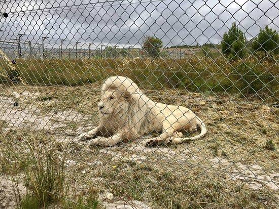 Stanford, Sydafrika: White lion