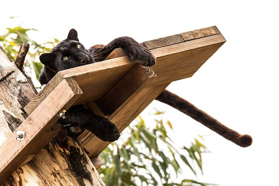 Stanford, Südafrika: Melanistic African leopard resting on its deck, high up in a tree