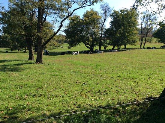 "Quarryville, Pensilvania: the cows kept their ""eyes"" on me"