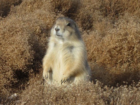 Badlands Wall: Prairie dogs