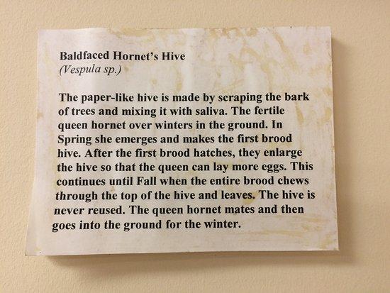 Weeks Bay: Description of a Hornet's nest