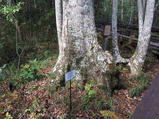 Weeks Bay: Champion Tree