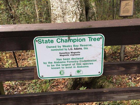 Weeks Bay: Champion Tree description