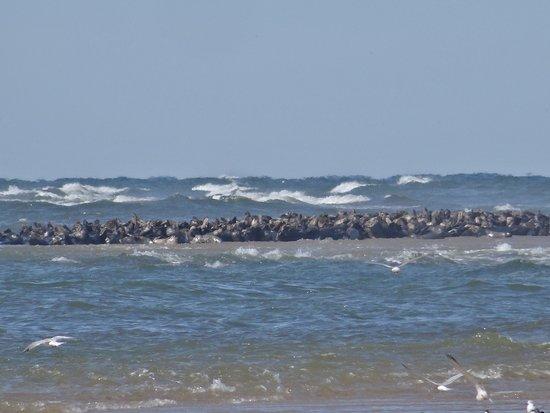 Truro, Μασαχουσέτη: An entire sand bar full of seals