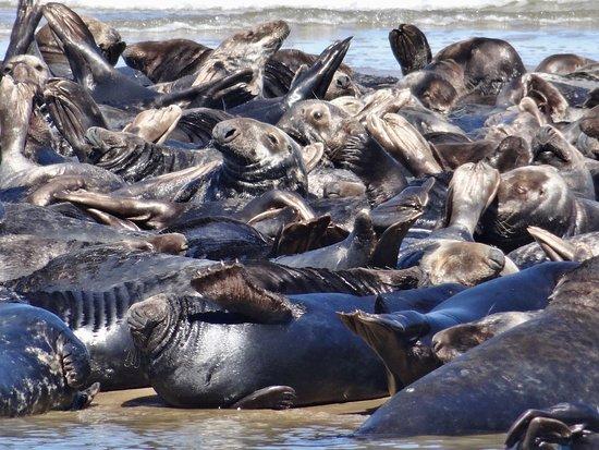Truro, ماساتشوستس: More seals