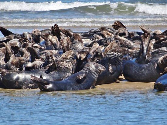 Truro, ماساتشوستس: And more seals
