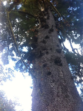 Quinault, WA: Looking up