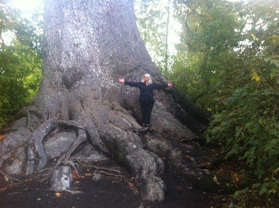 Quinault, WA: It's so large, I'm so small, amazing gnarled base
