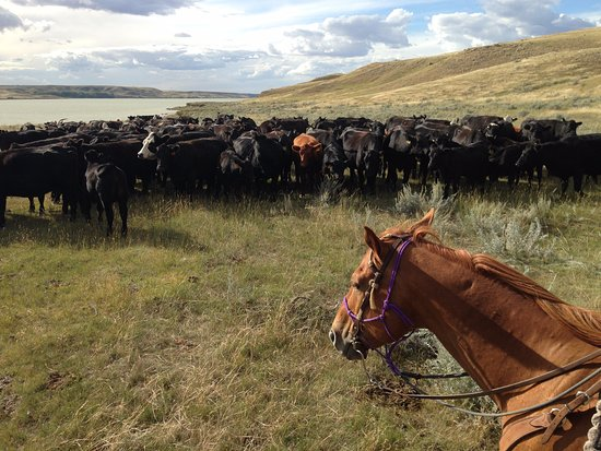 Kyle, Kanada: Plenty of cows to work with