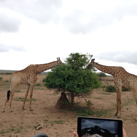 Kapama Southern Camp: giraffes feeding on a game ride