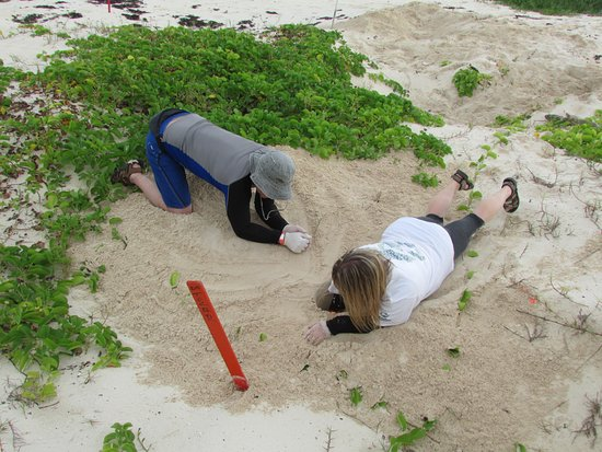 Hotel Cozumel and Resort: digging up a green sea turtle nest