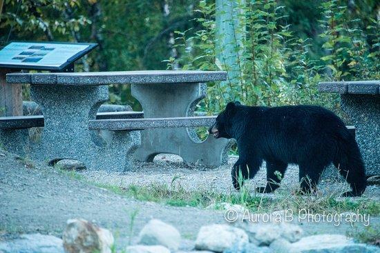 Revelstoke, Kanada: Bear in the bike park