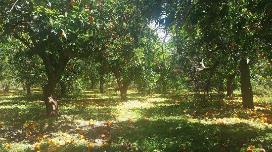 Province of Catania, อิตาลี: Ramacca area - home to Sicilian unique red oranges