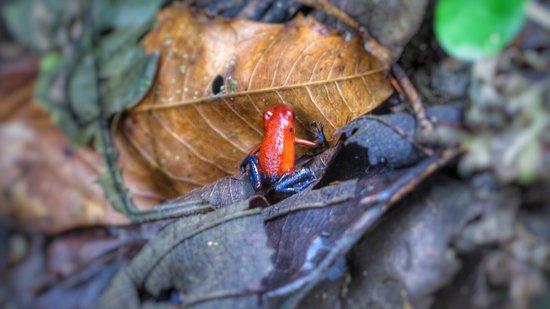 La Virgen, Costa Rica: Blue Jeans Frog