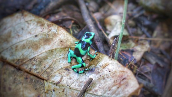 La Virgen, Costa Rica: Poison Dart Frog