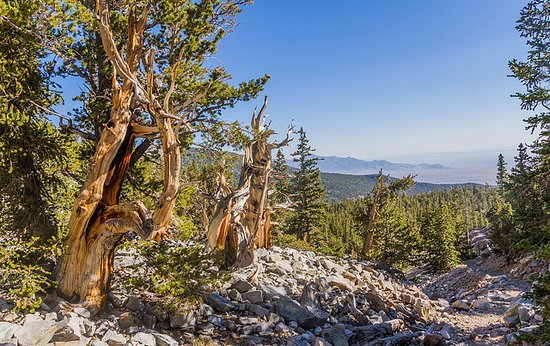 Great Basin National Park, NV: The Bristle Cone