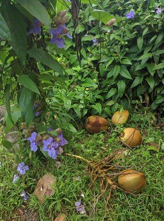 Kilauea, Hawái: Fallen Coconuts