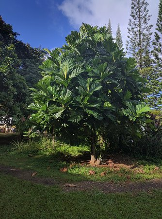 Kilauea, HI: Fruit Tree