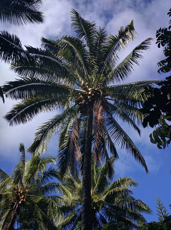 Kilauea, ฮาวาย: A palm tree full of ready to harvest coconuts
