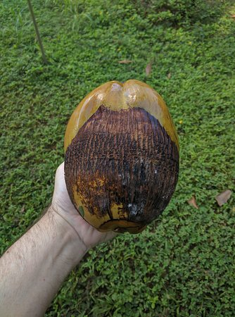 Kilauea, Hawaje: The thick outer shell of the coconut