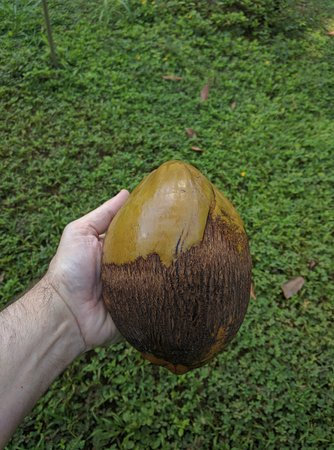 Kilauea, ฮาวาย: The thick outer shell of the coconut