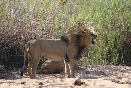 Londolozi Private Game Reserve: The pride of 15 lions appeared on day three.