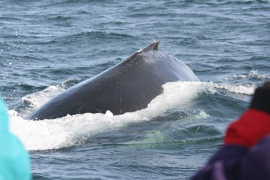Grand Manan, Canadá: The humpback calf comes in for a close inspection of us!