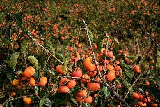 Tenri, Japan: 衾田陵付近の柿畑
