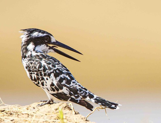 Thornicroft Lodge: Pied Kingfisher on river bank.
