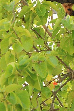 Kuramathi: One of the fruit bats