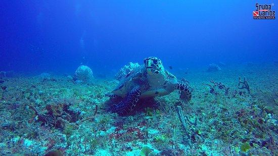 ScubaCaribe: Echte Karettschildkröte (hawksbill turtle) = Foto von Scuba Caribe