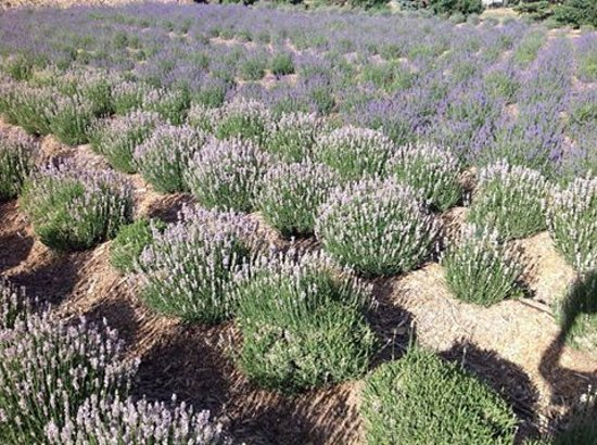 Palisade, Kolorado: Our Beautiful Lavender