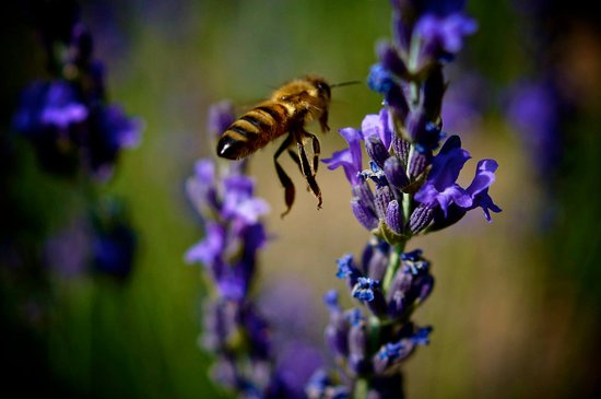 Palisade, Kolorado: Bees love our flowers !
