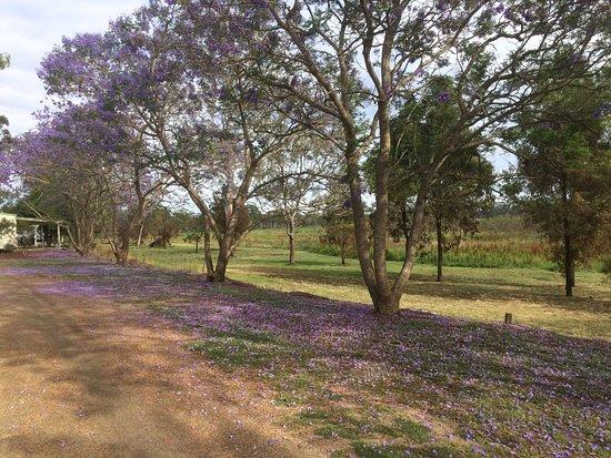 Monto, Australia: Jacarandas in November.