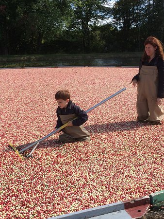 Acushnet, MA: Raking the cranberries at Stone Bridge Farm