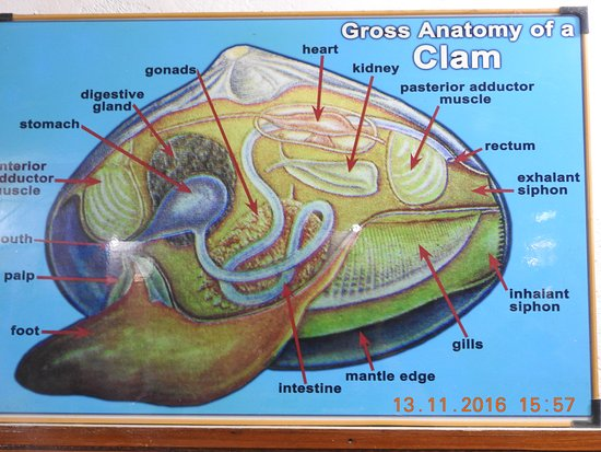 Diagram Depicting Internal Organs Of A Clam Picture Of Shell